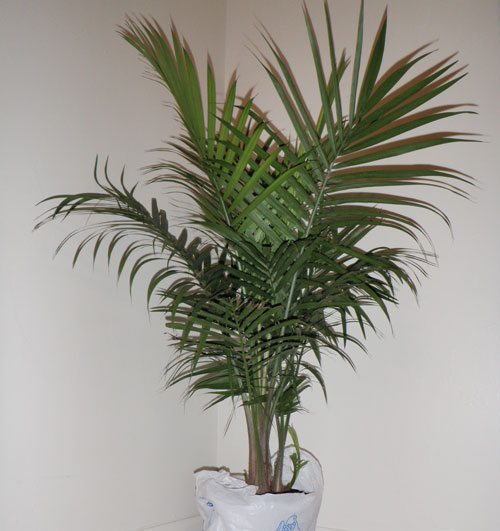 Majesty Palm Houseplant Majesty Palm Houseplant http://www.jenful.com