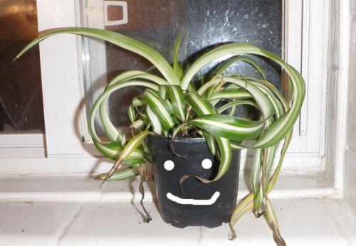 Spider plant smile