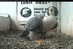 Love is for the birds. Peregrine falcons, to be specific.