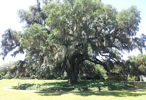 Airlie Oak